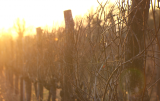 Weinreben im Sonnenaufgang