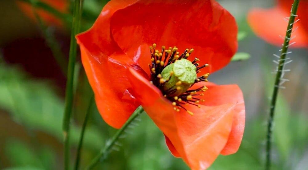 Zdenko Velcic - rote Mohnblume aus Holz