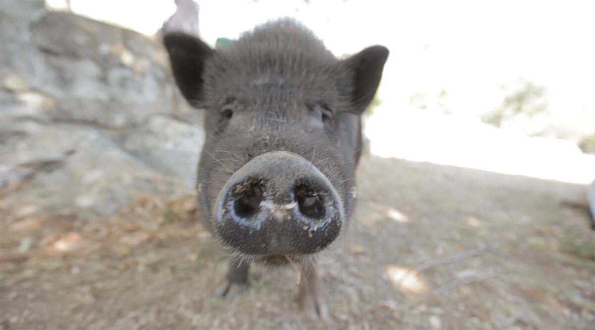 Haengebauchschwein-Drijade